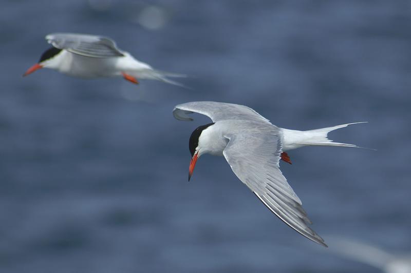 Charrán comun © SEO/BirdLife - Beneharo Rodriguez