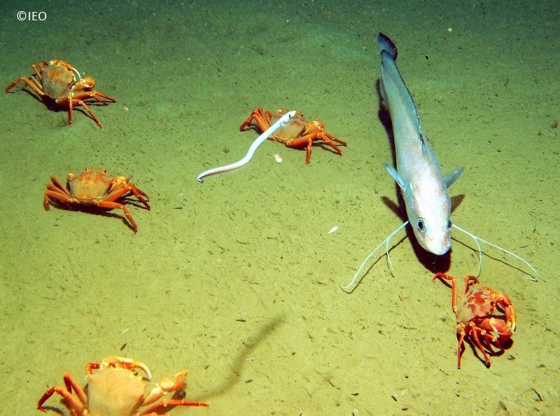 Fondos de arenas fangosas situados a 760 m del fondo de un cañón submarino con presencia del cangrejo Geryon trispinosus y locha (Phycis blennoides) © IEO