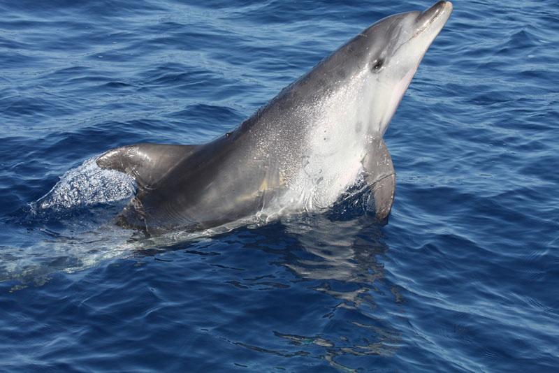 Delfín mular / Bottlenose dolphin (Tursiops truncatus) ©CIRCE/ALNITAK