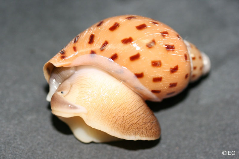 (Ampulla criamus) especie endemica en el Golfo de Cádiz ©IEO