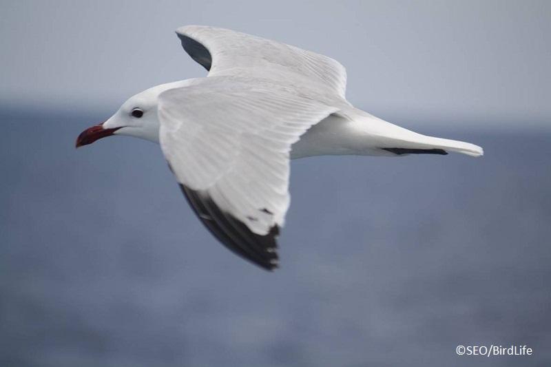 Gaviota de Audouin (Larus audouinii) ©SEO/BirdLife