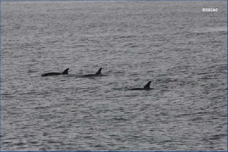 Grupo muy evasivo de delfines alimentándose (Stenella coeruleoalba) ©SECAC