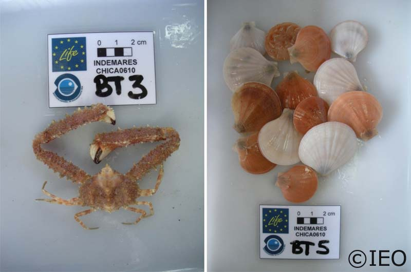 (Izquierda) Crustáceo decápodo Parthenope macrochelas que ha sido encontrado en los tres ambientes más característicos de Gazúl: porckmarks, crestas y vertientes del cono volcánico. (Derecha) El bivalvo Palliolum se ha encontrado únicamente en ambientes d