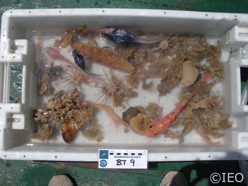 Cubeta conteniendo el resultado del arrastre con beam trawl en la zona de Albolote. Podemos observar la presencia de equinoideos, peces, ofiuroideos, decápodos, anémonas, hidrozoos, corales y zoantarios, entre otros. Una biodiversidad verdaderamente singu