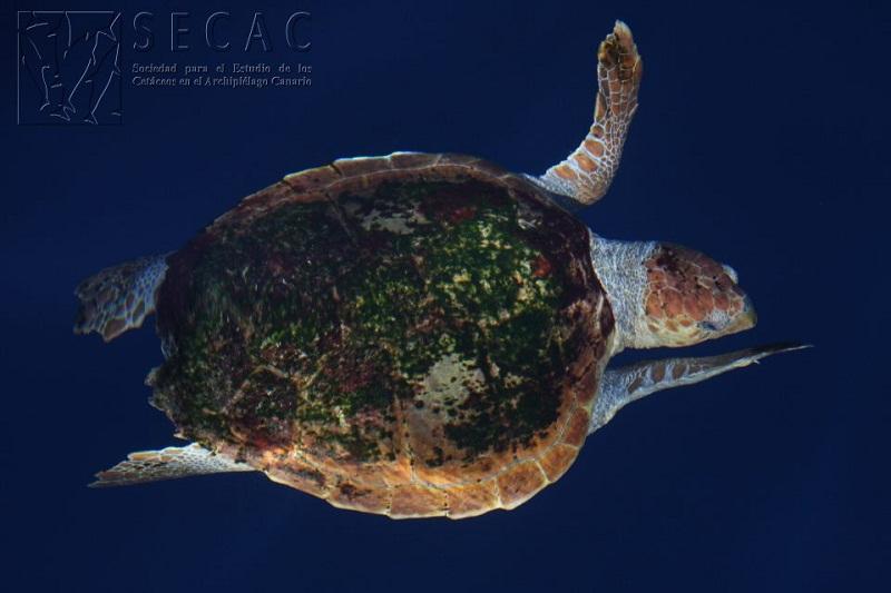 Tortuga boba (Caretta caretta) llena de epibiontes © SECAC