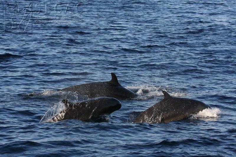 Falsas orcas (Pseudorca crassidens) ©SECAC