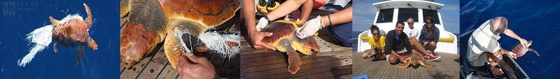 Rescate, toma de medidas y liberación de una tortuga boba (Caretta caretta) ©SECAC