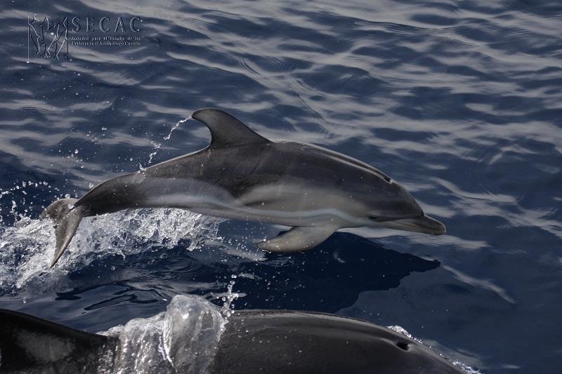 Delfín común neonato (Delphinus delphis) ©SECAC