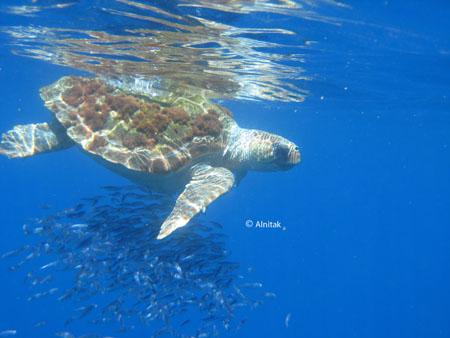 Efecto oasis de una tortuga boba en aguas del Seco de los Olivos © Alnitak