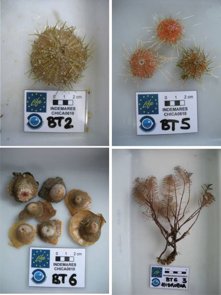 Different species taken from the beam trawl close to the Volcán de Fango Gazúl ©IEO