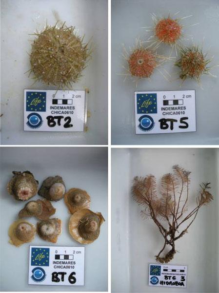 Diversas especies extraídas en los arrastres de beam trawl en el entorno al Volcán de Fango Gazúl ©IEO