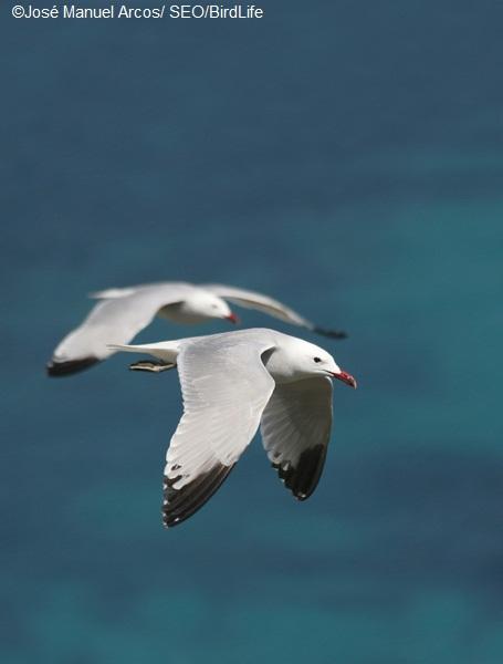 Gaviotas de Audouin, Isla Grosa, Murcia ©José Manuel Arcos/ SEO/BirdLife