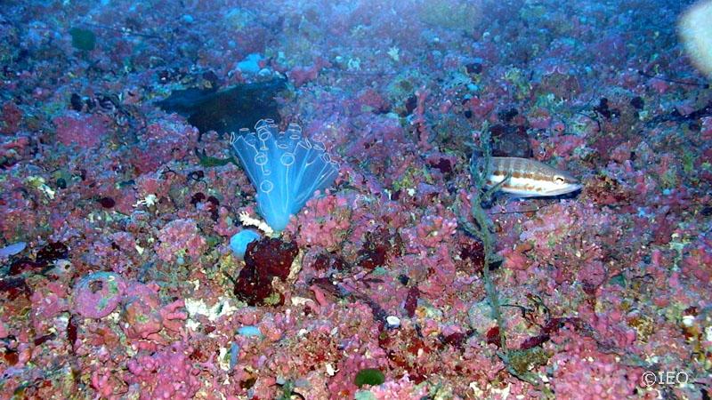Fondo de rodolitos o Maërl en el Canal de Menorca. Foto: IEO