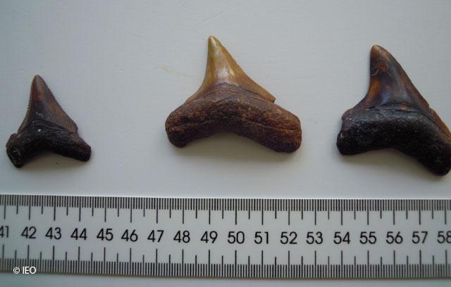 Fósiles megalodón. Foto: IEO