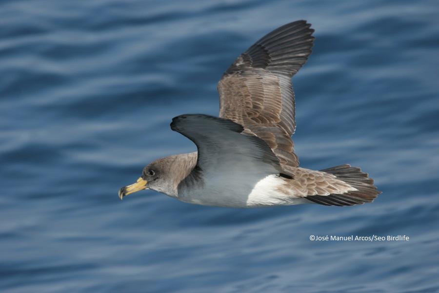 Pardela cenicienta © SEO/BirdLife - J.M. Arcos