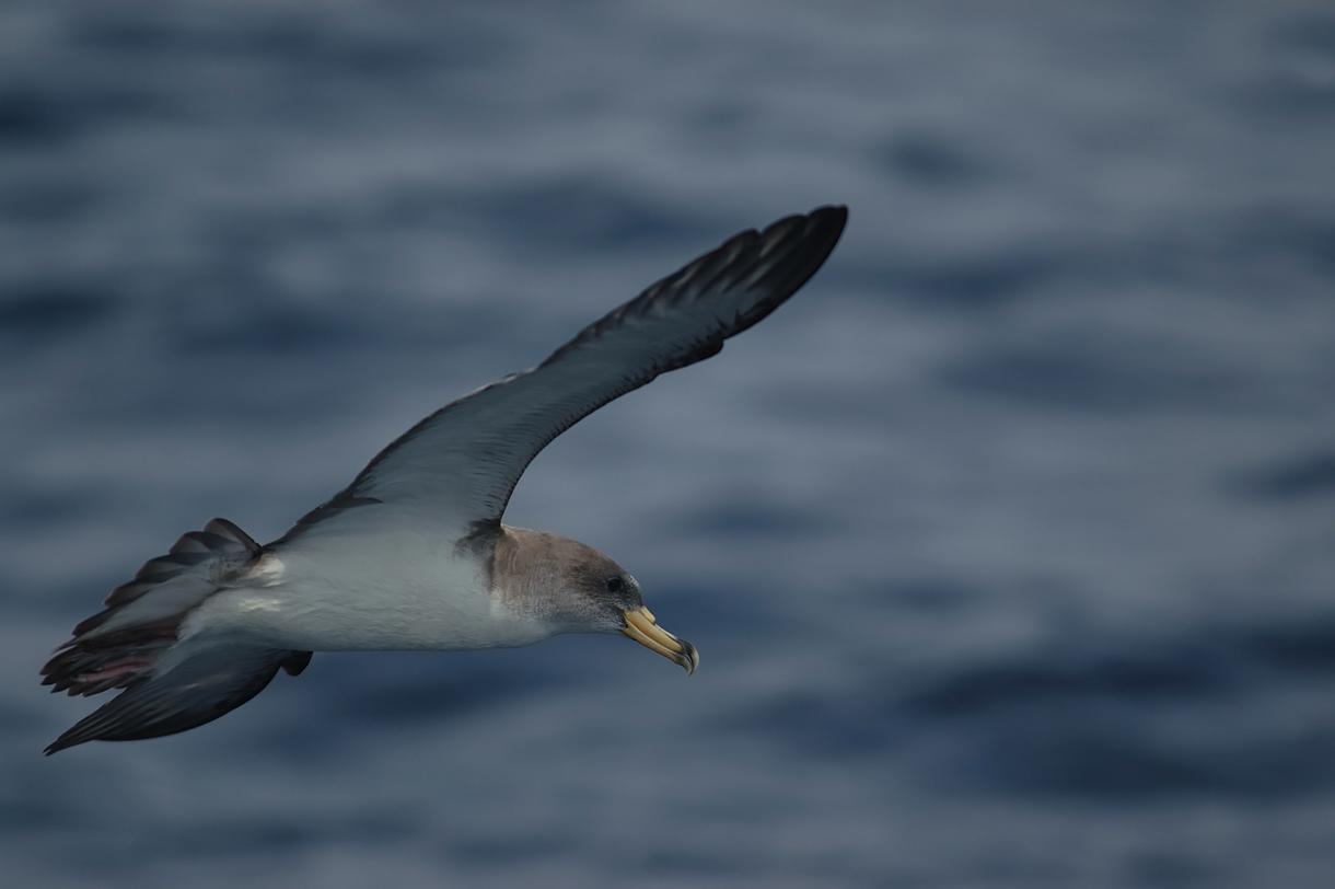 Pardela cenicienta © SEO/BirdLife - Juan Becares