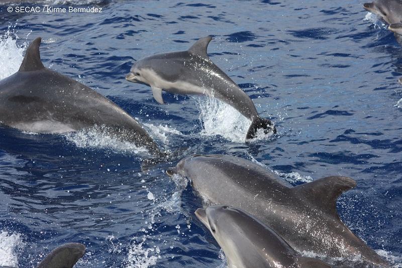 Grupo de delfines mulares (Tursiops truncatus) en el Banco del Banquete ©SECAC