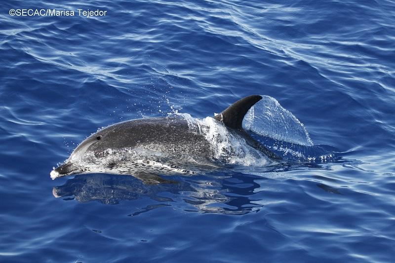 Delfín moteado (Stenella frontalis) adulto ©SECAC