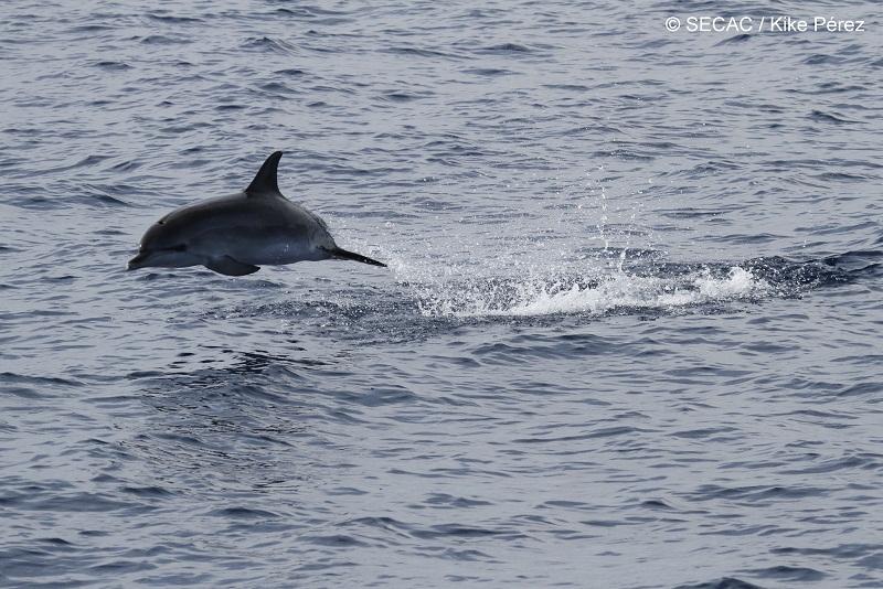 Delfín moteado juvenil (Stenella frontalis) saltando ©SECAC