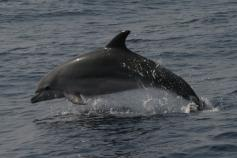 Delfín mular / Bottlenose dolphin (Tursiops truncatus) ©ALNITAK