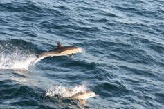 Delfines comunes / Common dolphins (Delphinus delphis) ©CEMMA