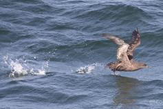 Sooty Shearwater (Puffinus griseus) ©B. Rodríguez/SEO BirdLife