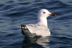 Gaviota de audouin / Audouin´s gull (Larus audouinii) ©ALNITAK