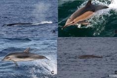 A: rorcual común (Balaenoptera physalus). B: delfín común (Tursiops truncatus). C:delfín listado (Stenella coeruleoalba). D: zifio de Cuvier (Ziphius cavirostris) ©CEMMA