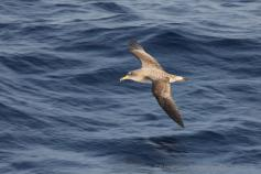 Pardela Cenicienta/Copry's Shearwater (Calonectris diomedea) ©Beneharo Rodriguéz/SEO BirdLife