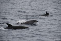 Delfín mular / Bottlenose dolphin (Tursiops truncatus) ©CEMMA