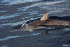 Delfines moteados (Stenella frontalis) ©SECAC