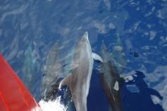 Delfines seguiendonos por el Cañon de Creus / Dolphins following us throw the Cañon de Creus ©ICM-CSIC