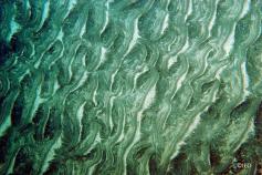 Fondos sedimentarios del eje de los cañones con fuerte presencia de (ripples) en los sedimentos ©IEO