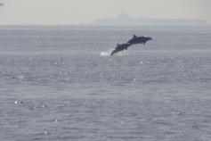 Delfines mulares (Tursipos truncatus) frente a la Isla de Alborán ©ALNITAK
