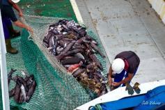 Captura del GOC, dominada por peces del género Alepocephalus y erizos de lápices (Cidaris)