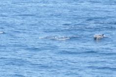 Avistamiento de un grupo de delfines. El día ha sido prolijo en avistamientos. Hasta tres ocasiones hubo de verlos ©IEO