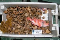 Bandeja conteniendo el material que se ha recuperado con el beam trawl ©IEO
