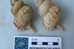 Uno de los macrogasterópodos más frecuentes en todo el ámbito del volcán es Argobuccinum olearium ©IEO
