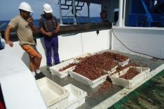 Algunas de las cajas llenas de muestra que se recogieron con el patín epibentónico. Campaña Agosto 2011 Canal de Menorca © IEO