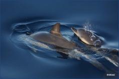 Parejas de madre-cría de delfín común (Delphinus delphis) ©SECAC