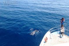 Fotoidentificación de delfín mular (Tursiops truncatus) desde el Oso Ondo ©SECAC