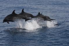 Delfines mulares / Bottlenose Dolphin (Tursiops truncatus) ©SECAC
