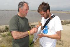 Colocando el GPS a un ejemplar de gaviota de Audouin ©SEO BirdLife
