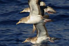 Pardela cenicienta / Cory's shearwater (Calonectris diomedea) ©Beneharo Rodriguez SEO/BirdLife