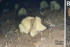 (A) Fondo rocoso profundo (125 m) en el que se observa la estructura de un típico jardín de esponjas de la plataforma de Alborán, con ejemplares dispersos de gran tamaño de las especies Phakellia robusta (Pr) y Phakellia ventilabrum (con forma de copa) ro