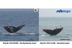 Ballena gris/Grey whale (Eschrichtius robustus) ©SUBMON