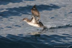 Pardela balear levantando el vuelo desde el agua.