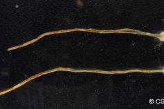 Especie de protozoo descubierta por OCEANA y el CSIC