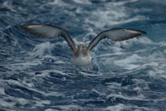 Pardela cenicienta © SEO/BirdLife Juan Becares