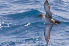 © SEO/BirdLife - JMArcos
